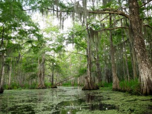 This is where the Louisiana alligators hang out