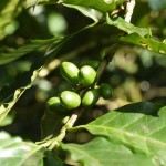 Coffee fruit growing on a coffee plant