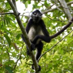 A spider monkey in Tikal