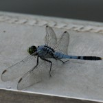 Dragonfly, New Orleans swamps