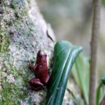 A poison dart frog, pretty common in Costa Rica. They are tiny. Of course I had to touch it.