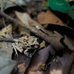 Another tiny frog. I forgot the proper name but I found it's black eyes make it look like a zombie.