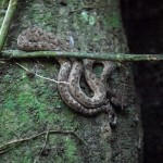 This deadly eyelash viper was well camouflaged and also sleeping