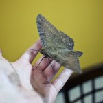 Some giant moth I caught in my room