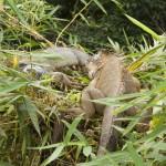 Two lazy iguanas